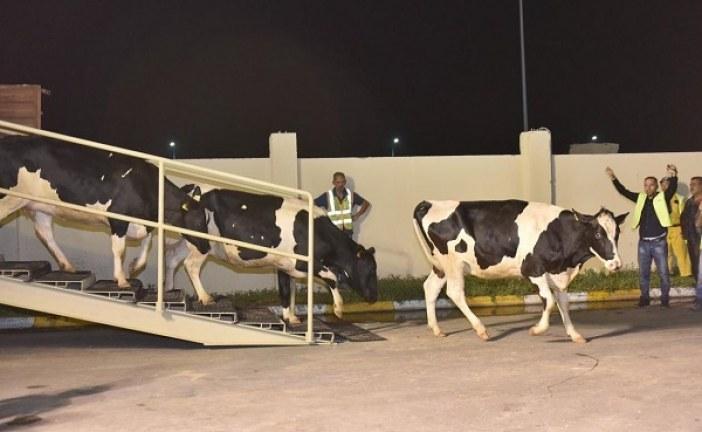 तुर्की ने दुध के लिए कतर को भेजी 165 गाय 4000 गाय और भेजेंगे अगस्त तक